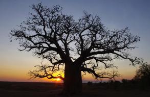 Boab tree at sunset